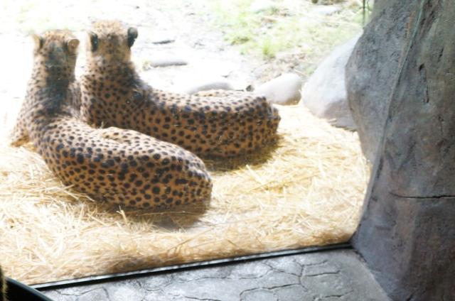 Don't cheetah on me!